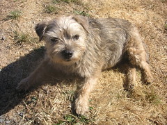 dog breed, animal, dog, schnoodle, norfolk terrier, glen of imaal terrier, schnauzer, catalan sheepdog, border terrier, cairn terrier, carnivoran, terrier,