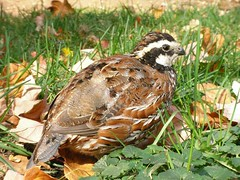 animal, prairie, quail, fauna, bird, galliformes, wildlife,