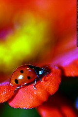 ladybug on a red zinnia petal    MG 2856