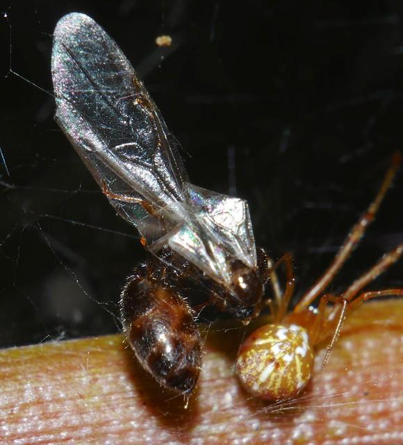 Crazy maze web spider Parasteatoda species caught a winged queen ant on maiden flight P1150867