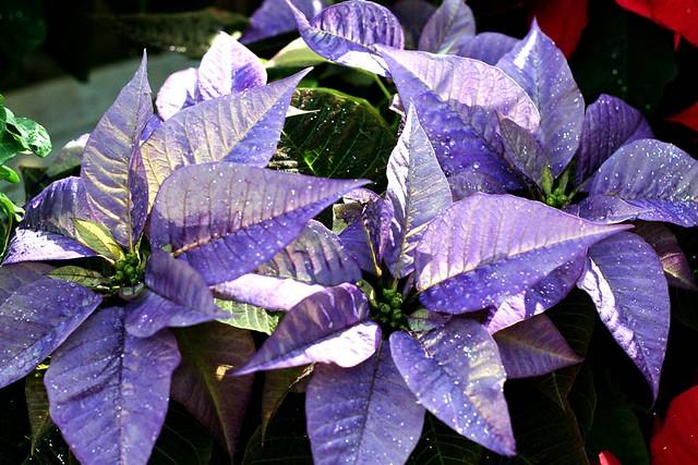 Purple Poinsettias At The Nursery Flickr Photo Sharing