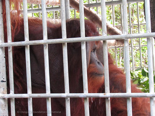 Jono orangutan rescue the baby trade illegal pet trade orangutan foundation international