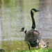 Canadian Geese in Thorndon Country Park