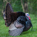 Turkey in full display and mating color
