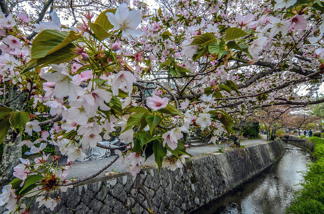 Philosopher's Path cherry blossoms clear