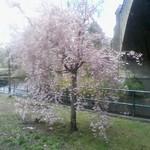 Cherry Blossoms, Branch Brook Park, 2018 - 3