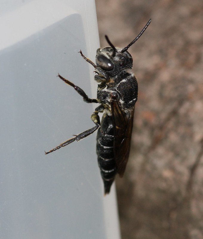 Cleptoparasitic bees