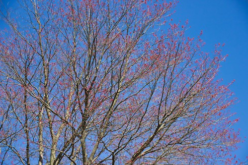 IMG_11880a_Budding_Tree_Against_Blue_Sky