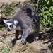 Ring Tailed Lemur CWP_TY_BB0T7239