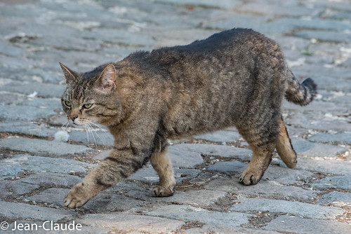 Domestic Cats ♂ Shorthair