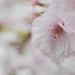 Schwetzinger Kirschblüte