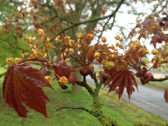 celebrate spring: Acer bud burst