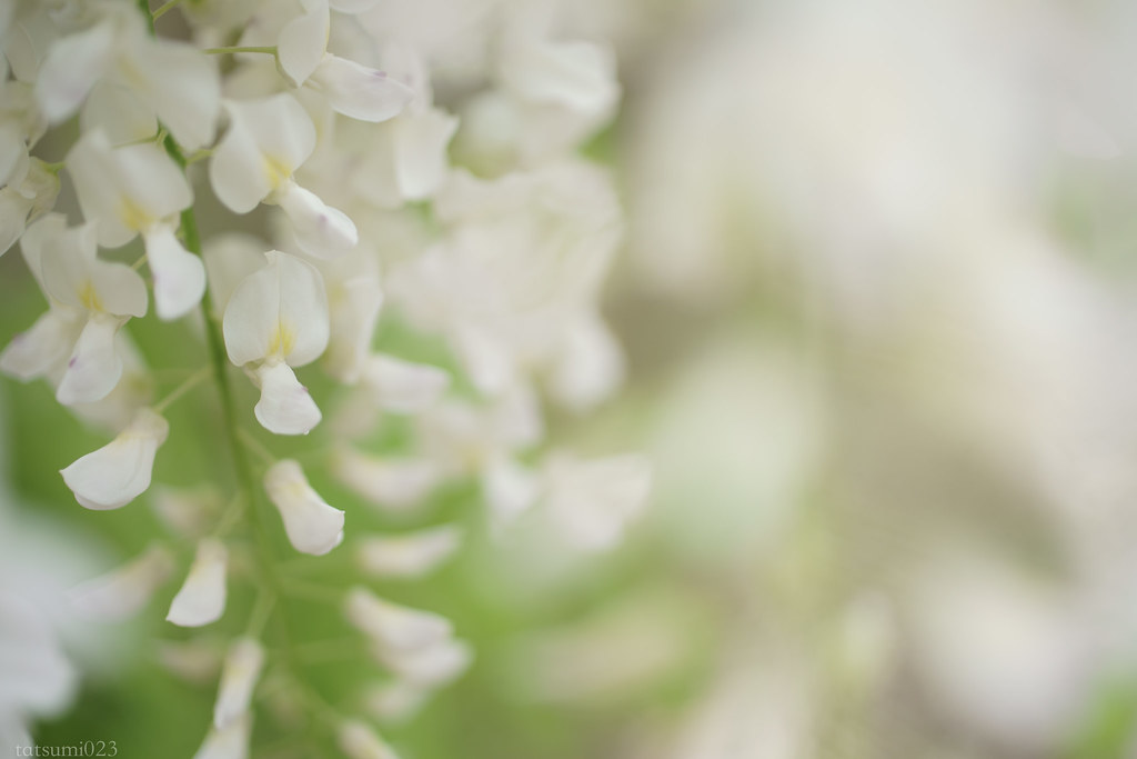 2018-04-27 白い藤 003