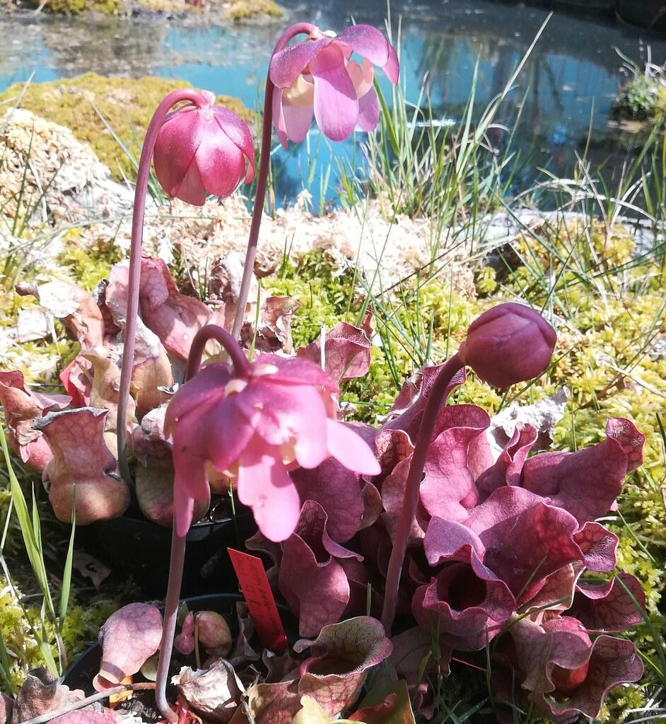 Sarracenia purpurea ssp. burkii