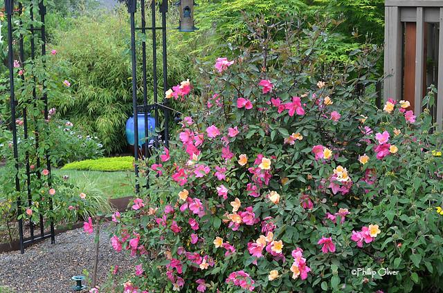 rose-mutabalis