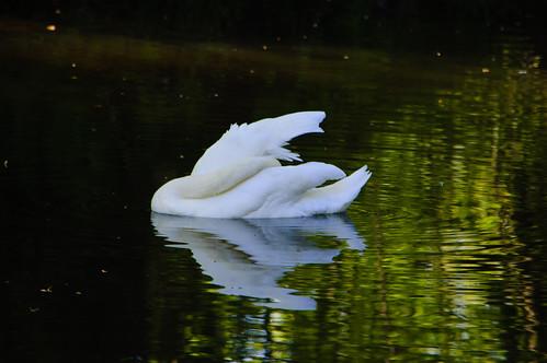 Contortion: swan preening