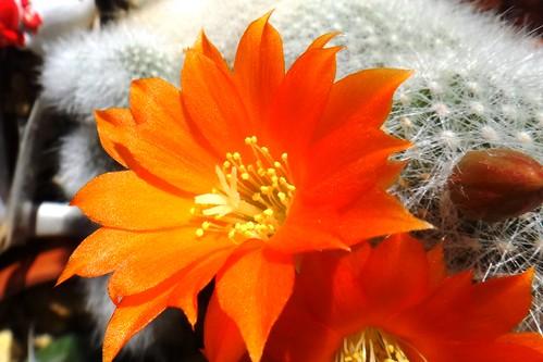 Цветет айлостера мускула