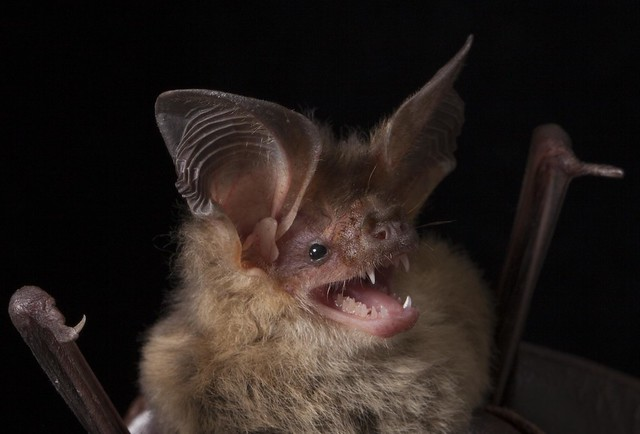 Nyctophylus gouldi, Gould's Long-eared Bat