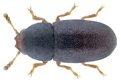 Strigocis bicornis (Mellié, 1848)