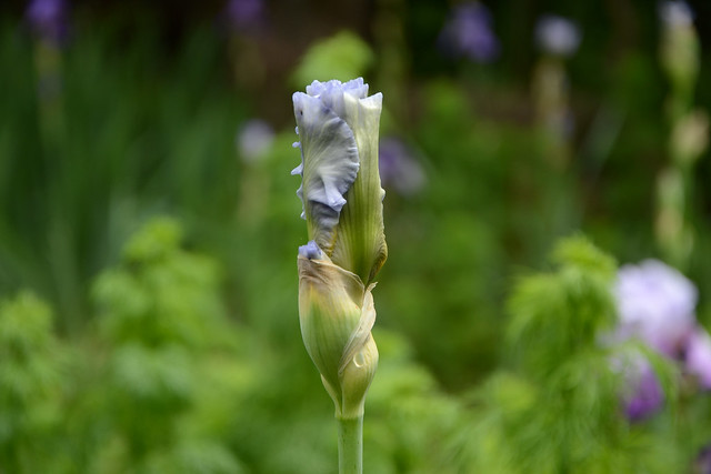 Iris 'Silverado' - Schreiner 1986 42022333441_a96ba76cb8_z