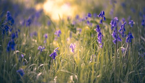 bluebells wortonwoods middlebarton england unitedkingdom gb