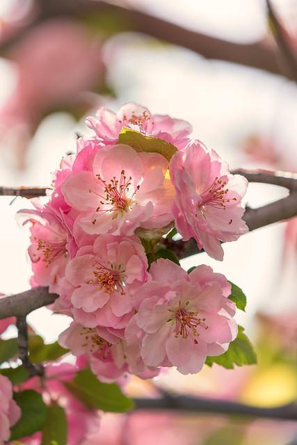 Crab Apple Blossoms [Explore]