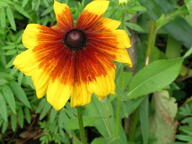 Fleur de Rudbeckia jaune, Nikon E5400
