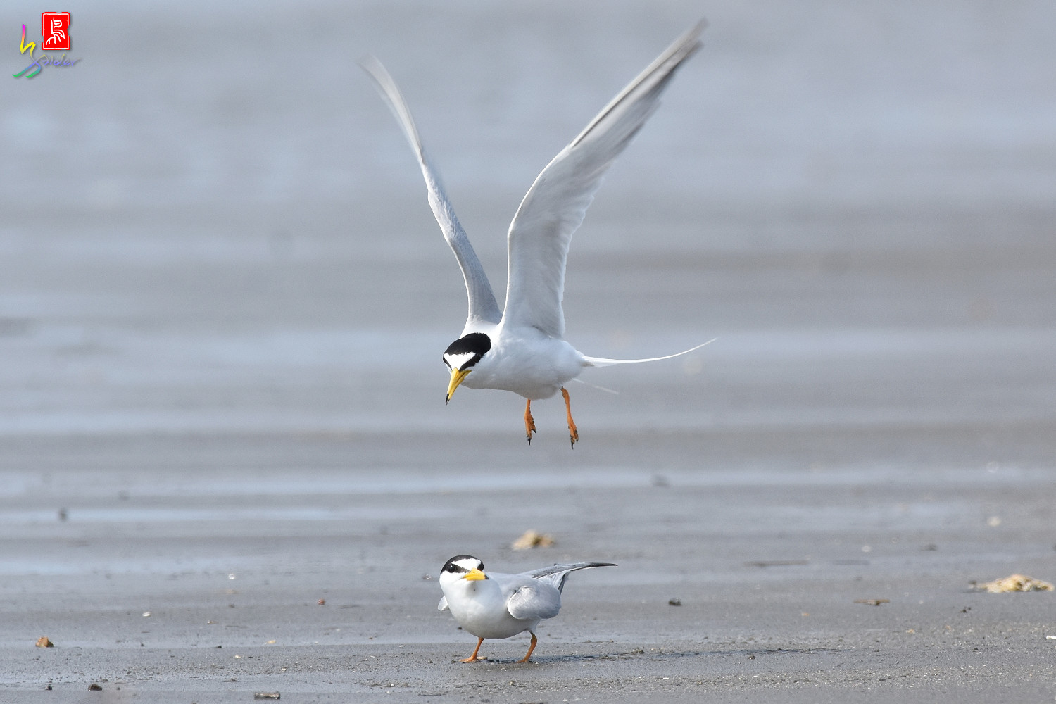 Little_Tern_4452