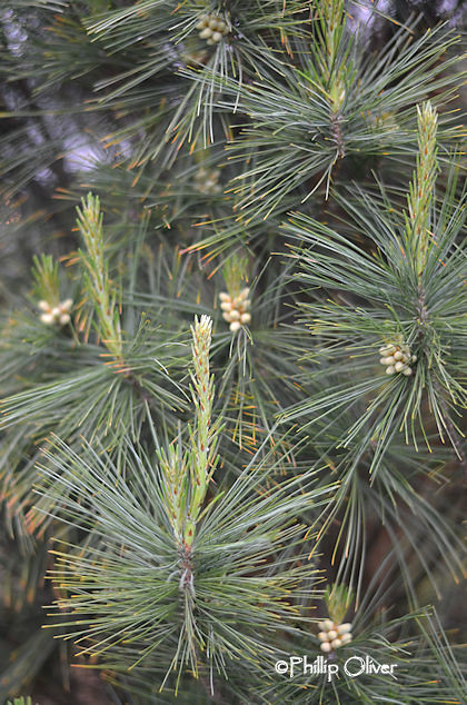 pinus-strobus-fastigiata-white-pine