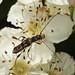 Spruce Shortwing Beetle - Molorchus minor
