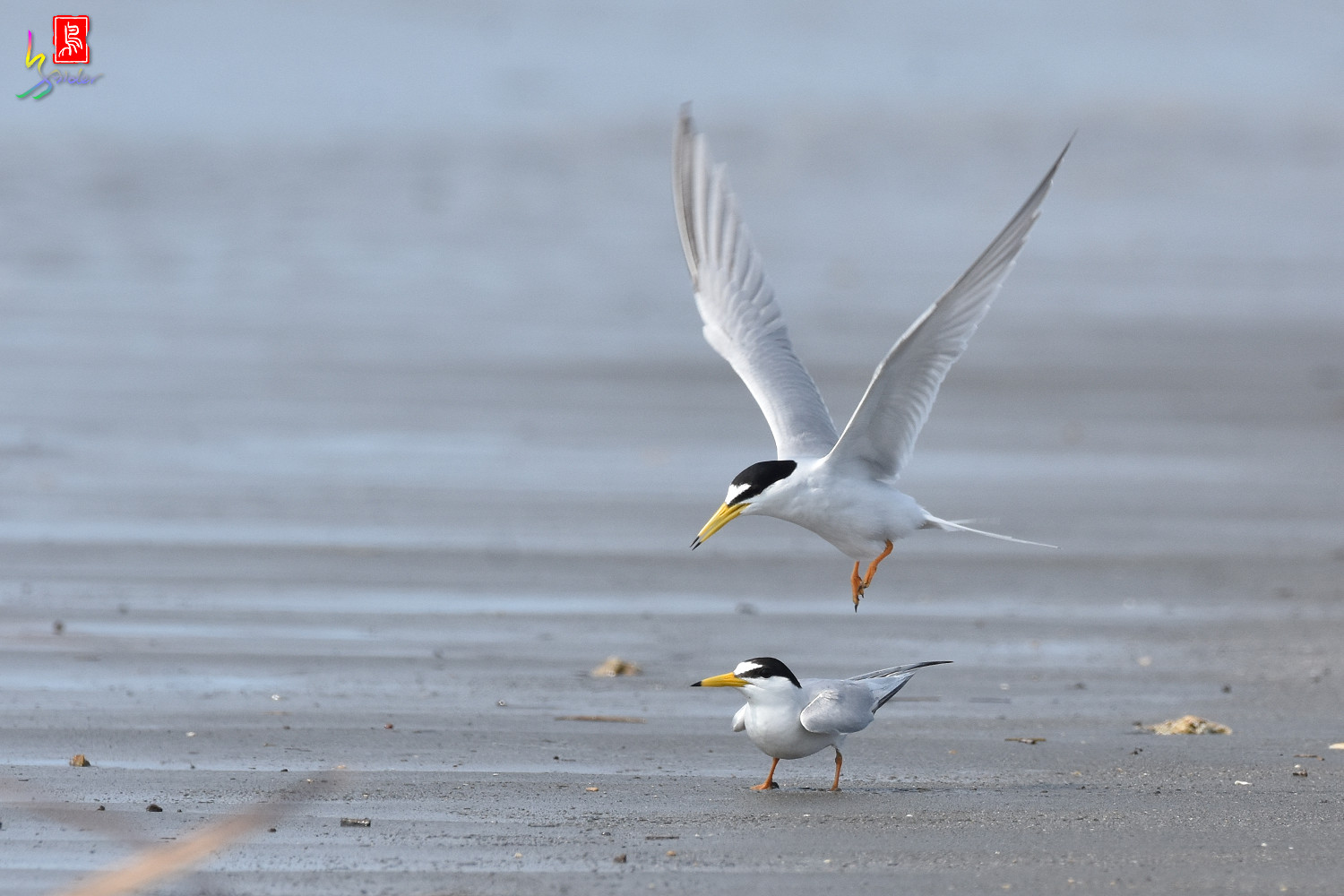 Little_Tern_4355