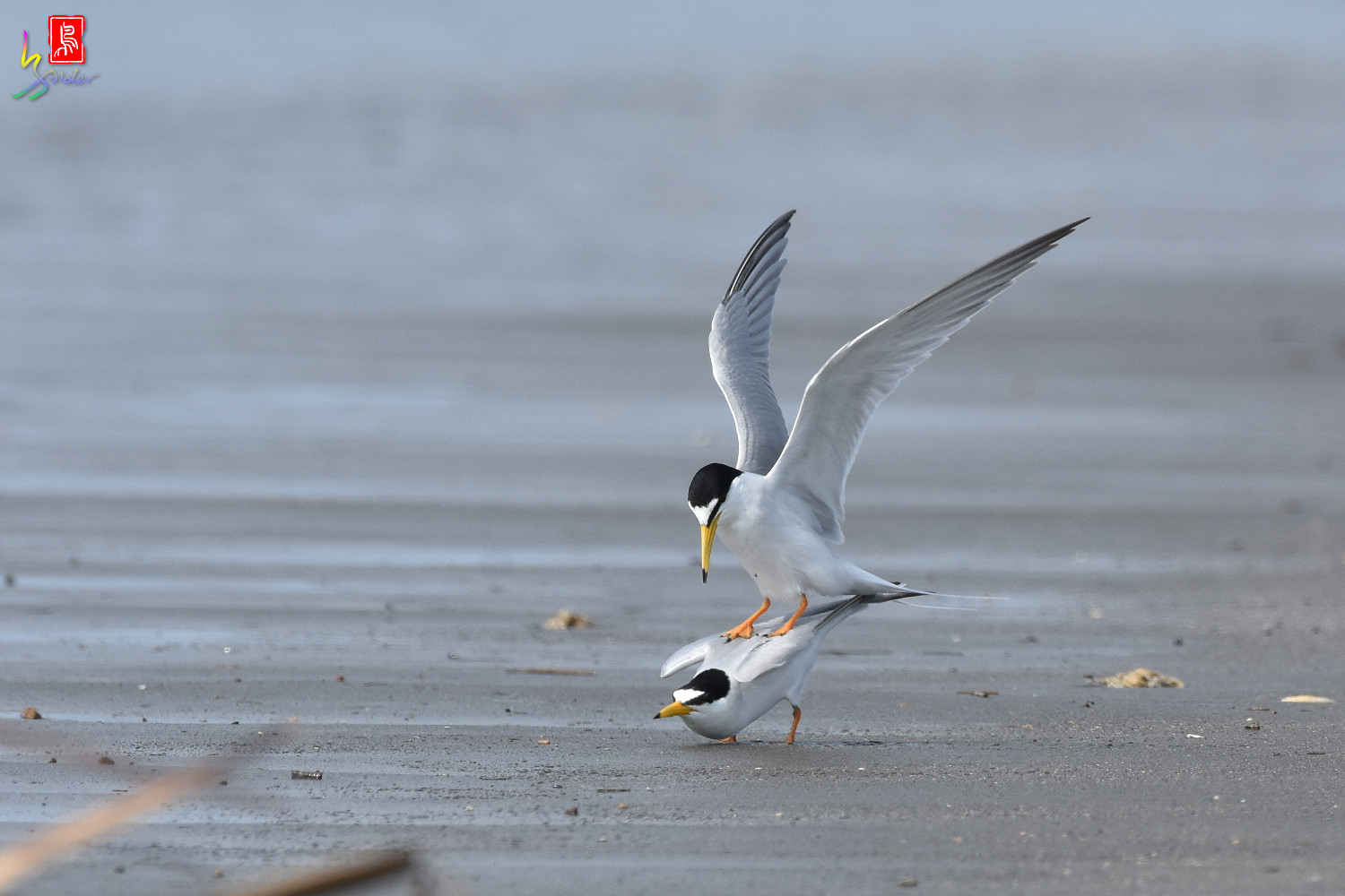 Little_Tern_4345