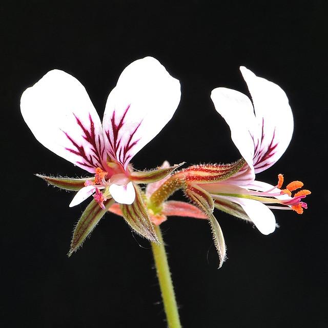 2018-05-21 Pelargonium myrrhifolium - BG Teplice