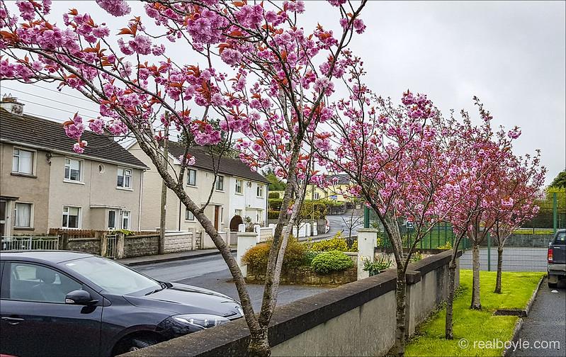 Blossom Trees 2018