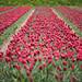Keukenhof Red Tulips