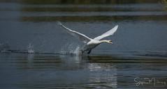 Mute Swan Taking off