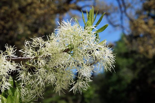Fringetree (Chionanthus virginicus) closeup