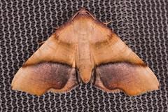 Purple Plagodis Moth