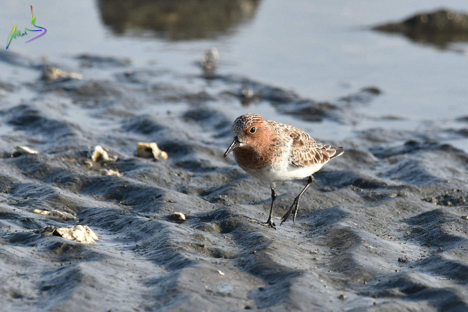 Red-necked_Stint_1549