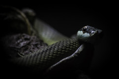 South American Green Snake