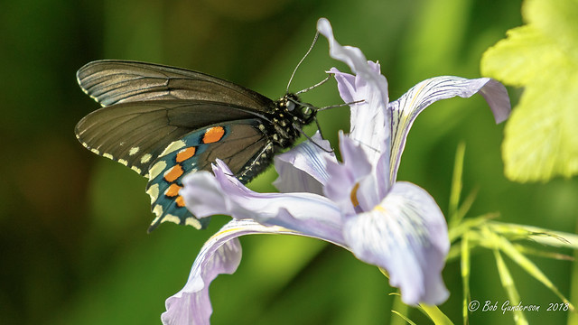 Pipevine Swallowtail (m)