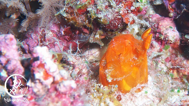 オレンジ色のバルタンシャコ