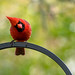 Inquisitive Male Cardinal on our bird feeder