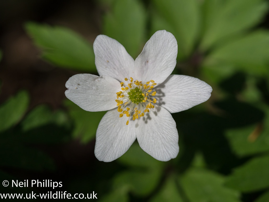 Wood anemone-3