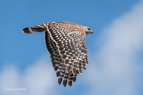 Red-shouldered Hawk 500_8170.jpg