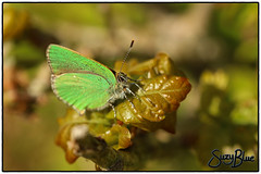 Green Hairstreak butterfly