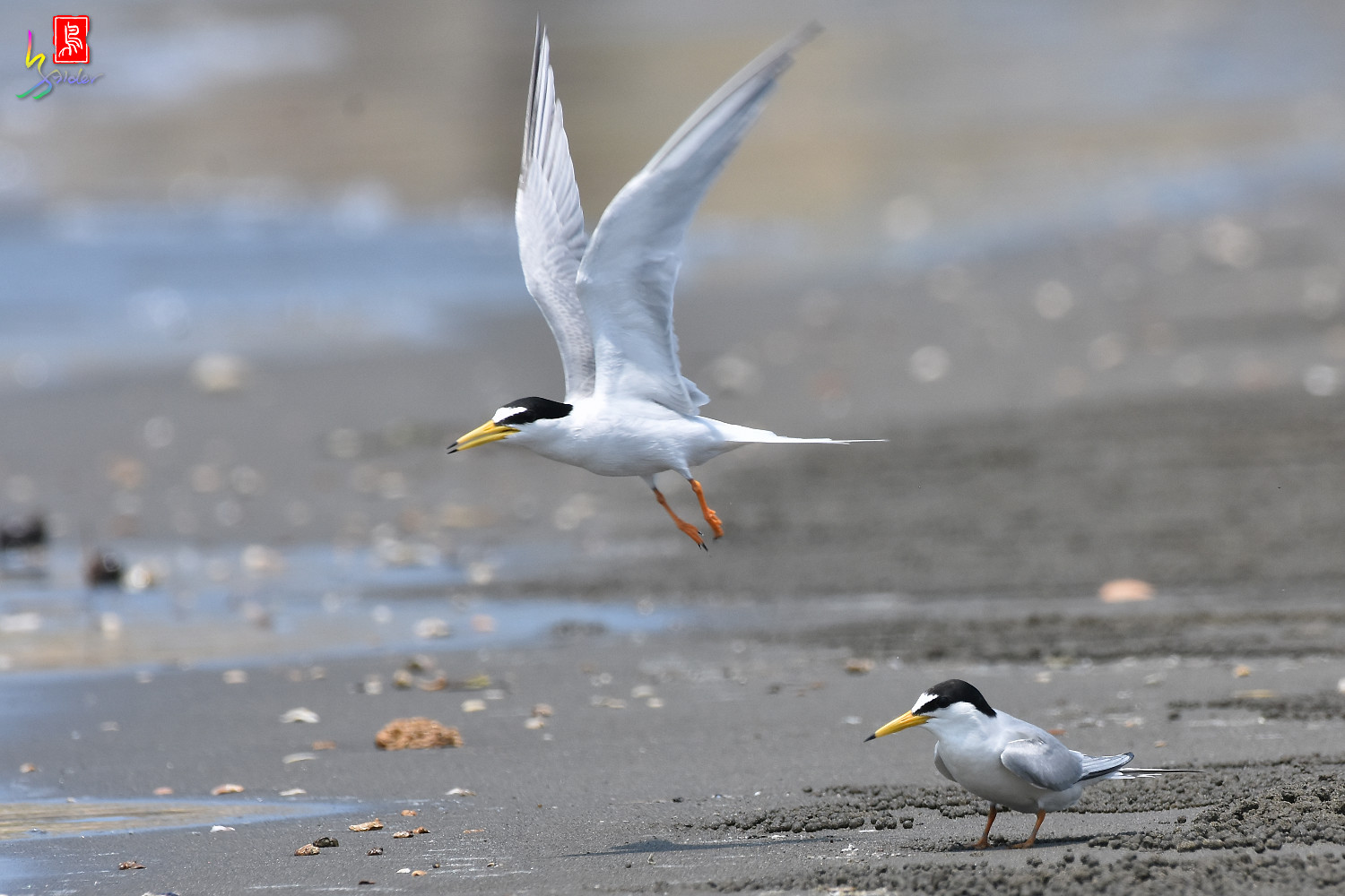Little_Tern_4922