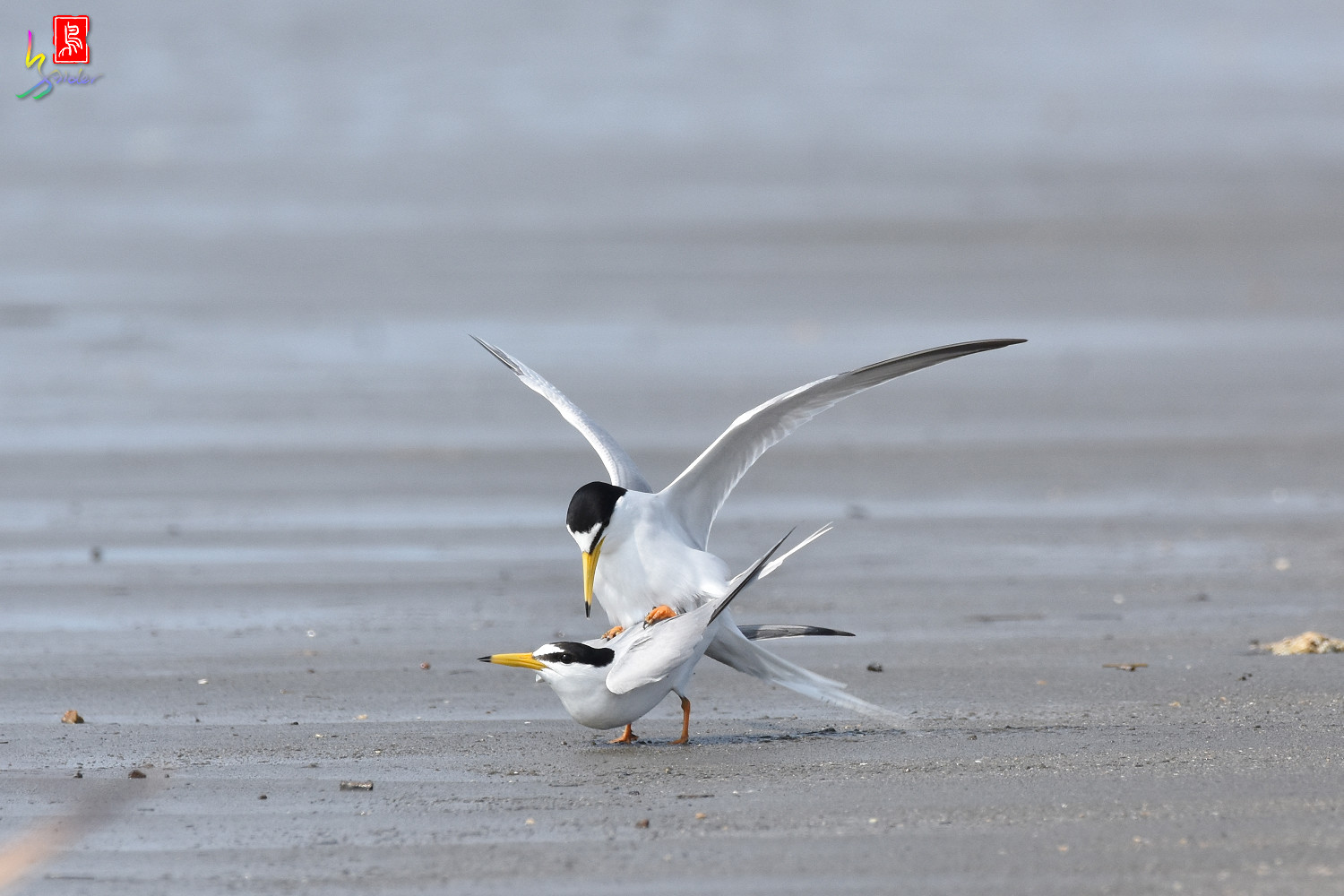 Little_Tern_4444