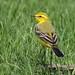 Yellow Wagtail (m) - Elmley NNR IMG_4433