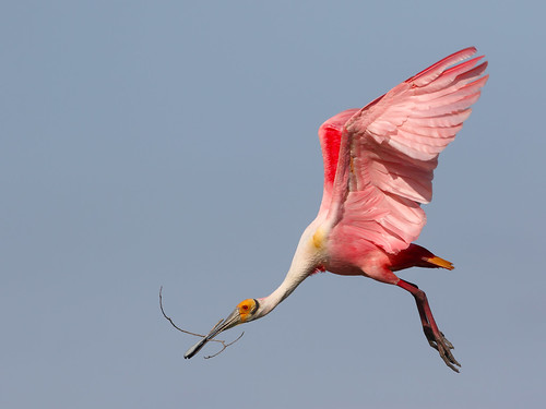 Roseate Spoonbill bringing a stick to the nest